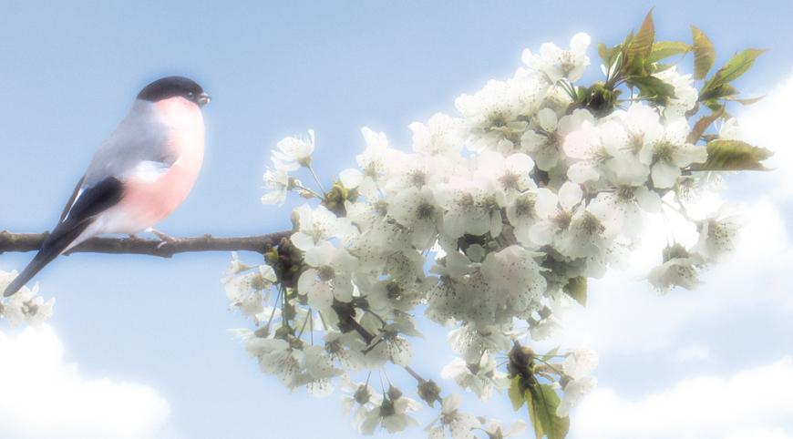 blog bullfinch  soft glow