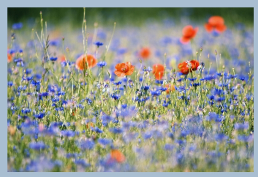 blue and orange wildflowers