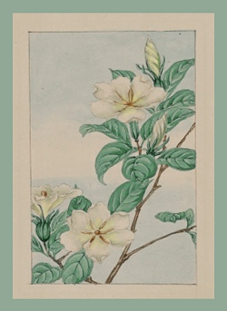 botanical drawing of #jasmine
