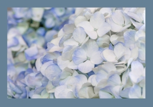 Blue hydrangea #flowers #hydrangea #blooms #blossoms #flowers #gardening
