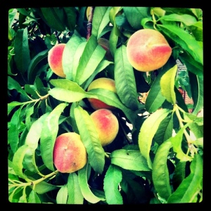 Peaches growing on the tree